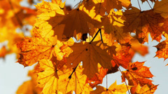 Stock Video Footage of Maple leaves