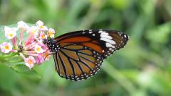 Monarch butterfly on flower Stock Footage