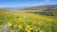 Wildflowers of Yellowstone National Park - stock footage