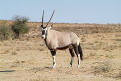 gemsbok - stock photo