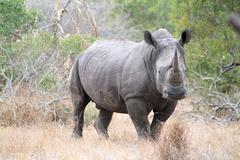 White Rhino facing towards camera - stock photo
