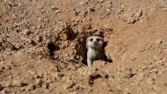 Stock Video Footage of suricate 9