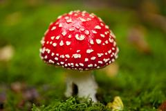 Agaric amanita muscaia mushroom detail in forest autumn Stock Photos