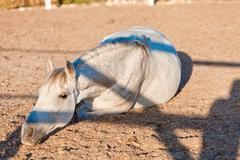 beautiful pura raza espanola pre andalusian horse - stock photo