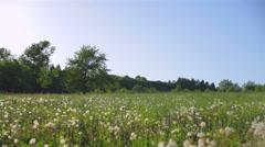 Extensive field of dandelions Stock Footage