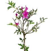Azalea tree (rhododendron simsii planch)  isolated on white background Stock Photos