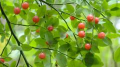 Huckleberries Stock Footage