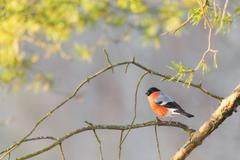 bullfinch sitting on a sunlit branch - stock photo