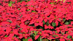 Watering the poinsettia Stock Footage