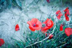 beautiful red poppy poppies in green and blue closeup - stock photo