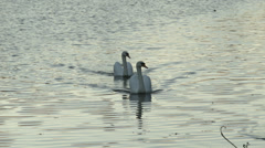 Two swans cruise down a river Stock Footage