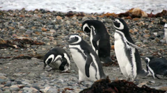 Magellanic Penguins (Spheniscus magellanicus) on a Patagonia beach. Natural Stock Footage