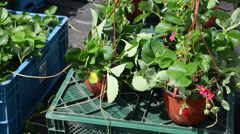 Strawberry seedling plants with blooms in pots sold in market Stock Footage