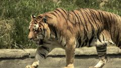 The tiger Stock Footage