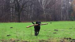 Labrador dog in the park playing fetch. Autumn season. - stock footage