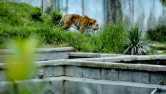 the tiger - stock footage