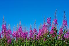 Purple alpine fireweed Stock Photos
