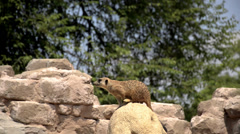 Meerkat or suricate Stock Footage