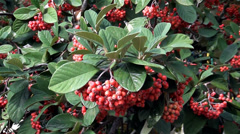 Vegetation of Crimea, red berries Stock Footage