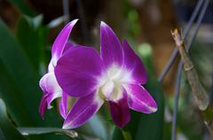 two orchid blooms - stock photo