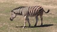 Stock Video Footage of Zebra at Frank Buck Zoo Texas