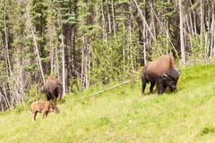 Wood Buffalon lauma Bison bison athabascae laiduntaminen Kuvituskuvat