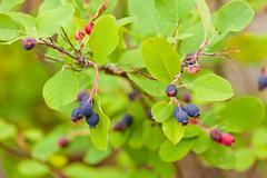 Ripe blue saskatoon berries amelanchier alnifolia Stock Photos