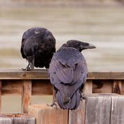 Kaksi yhteistä korpit Corvus corax vuorovaikutuksessa Kuvituskuvat