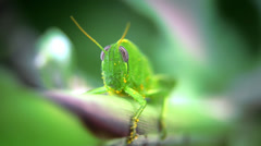Grasshopper close up Stock Footage