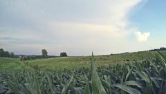 Corn FIeld and Cows 1 HD Stock Footage