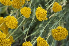 Fernleaf yarrow (Achillea filipendulina) Stock Photos