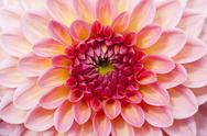 Stock Photo of Dahlia hybrid (Asteraceae)