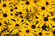 Stock Photo of Yellow coneflower (Rudbeckia fulgida var. sullivantii 'Goldsteinii')