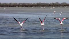 Flying flamingos Stock Footage
