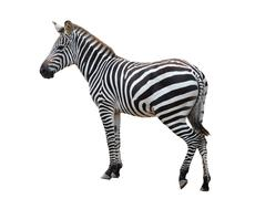 zebra isolated - stock photo