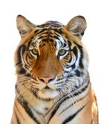 Tiger head isolated Stock Photos