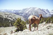 Stock Photo of USA, Colorada, elk at Rocky Mountain National Park