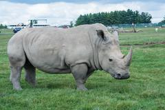 African rhino on a grass field Stock Photos