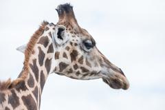 giraffe in a wildlife reserve - stock photo