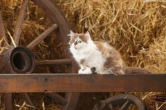British Longhair, kitten, sitting on a wooden slat in a barn - stock photo