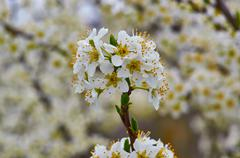 Spring tree apple tree with white flowers blooming Stock Photos