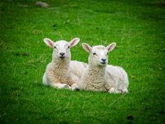 two resting lambs - stock photo
