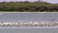 Stock Video Footage of gulls and flamingos
