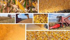 Corn harvest split screen - stock footage
