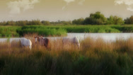 Stock Video Footage of camargue horses