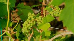 Wines Okanagan day CU CC Stock Footage