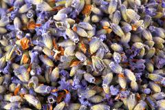 Texture of flowers of lavender Stock Photos
