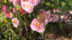 Butterfly sucking the flower nectar Stock Footage