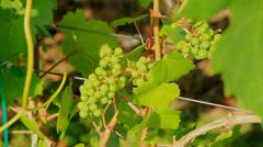 Wines Okanagan day CU Stock Footage