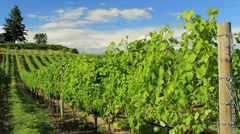 Vines Okanagan WS day CC Stock Footage